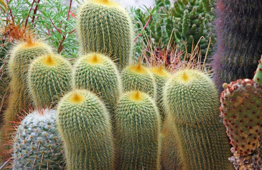 кактусы как символ геморроя