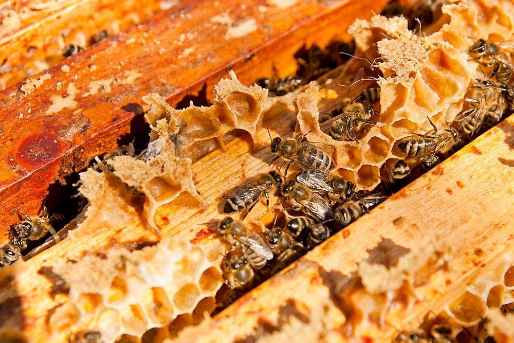 пчелы, соты